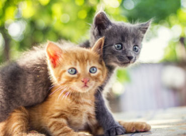 Calcivirus nel gatto